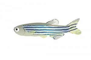 zebrafish_log